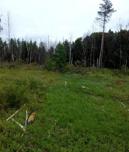 В Бугурусланском районе местный житель незаконно спили 320 сосен