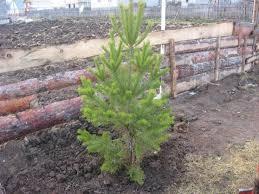 Посадите сосну