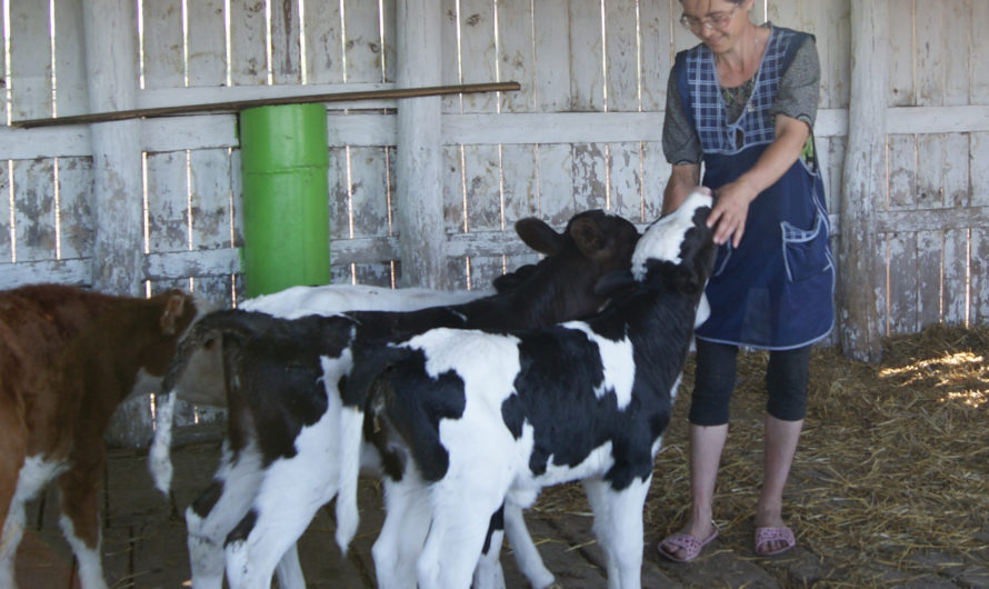 Корова в тепле — молоко на столе