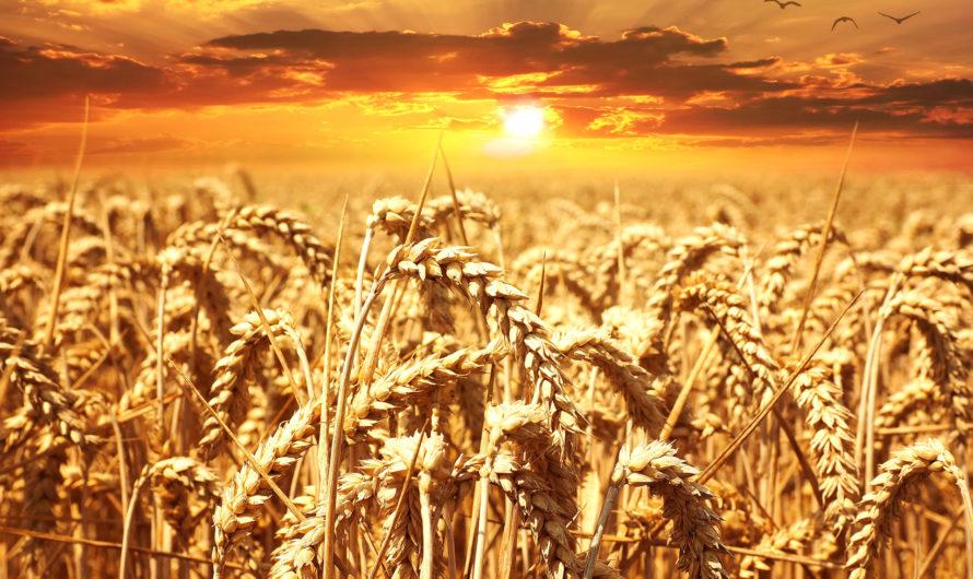 АПК: жатва-2021  Вопреки засухе