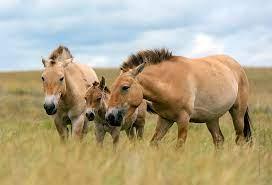 В Оренбургском заповеднике кобыла Бася создала свой «гарем» из жеребцов